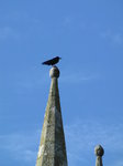 SX02380 Rook [Corvus Frugilegus] on church spire.jpg